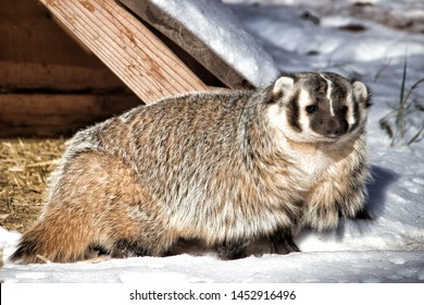 The American badger  is a North American badger, somewhat similar in appearance to the European badger. Side body shot with head facing forward.