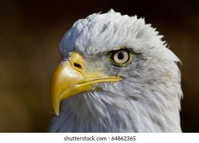 American bald eagle - Shutterstock ID 64862365