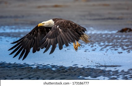 American Bald Eagle at Anchor Point, Homer Alaska
