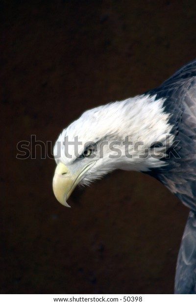 american bald eagle with brown background