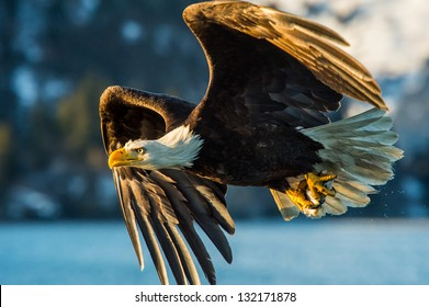 american bald eagle catching a fish in alaskan waters