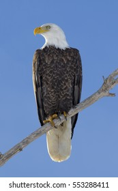 American bald eagle in a cottonwood tree at Cherry Creek State Park in suburban Denver, Colorado.