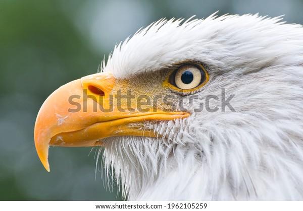 american-bald-eagle-detailed-portrait-60