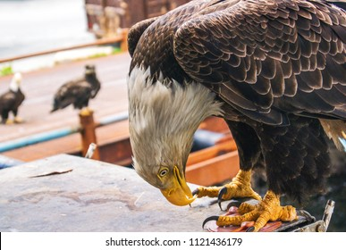 An American Bald Eagle feeding on sliced ham while other eagles watch