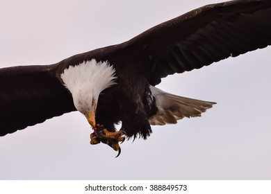american bald eagle feeding on fish while in flight