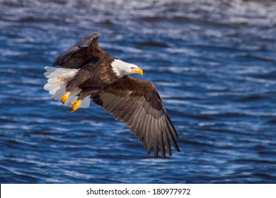 American Bald Eagle fishing along the Mississippi River