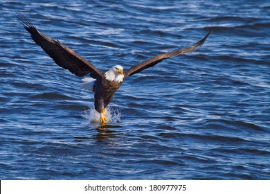 American Bald Eagle fishing along the Mississippi River/River Dance
