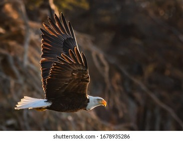 american bald eagle in flight against forested Alaskan background and looking toward camera