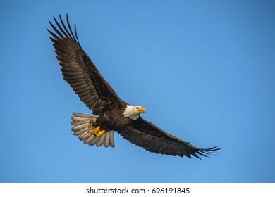 American bald eagle in flight against clear blue Alaskan sky in Kenai region