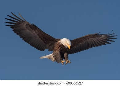 American bald eagle in flight and approaching landing, isolated against clear blue sky of Alaskan Kenai region