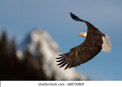 American bald eagle in flight illustrated against snow-covered mountain in Alaska's Kenai mountains