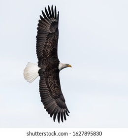 american bald eagle in flight and isolated against clean white cloudy sky