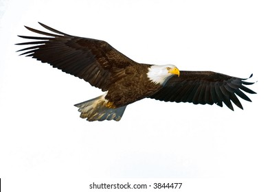 american bald eagle in flight isolated on white and nice light on face
