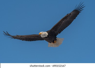 American bald eagle in flight and isolated against clear blue Alaskan sky