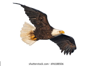 American bald eagle in flight isolated against white background