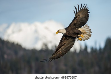 American bald eagle in flight over snow-covered mountain in Alaska's Kenai mountains