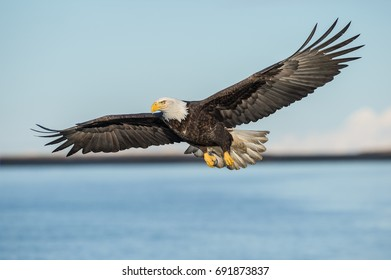 american bald eagle in flight over cook inlet against pale blue sky and with alaskan kenai mountains in background