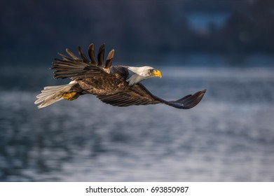 american bald eagle in flight over cook inlet and alaskan waters of the kenai region, with wing tip feathers swirling