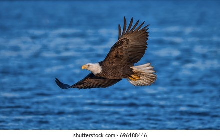 american bald eagle in flight over cook inlet and alaskan waters of the kenai region