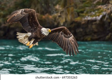 American bald eagle in flight over Alaskan Kenai region cove off Cook Inlet with forested shoreline for background