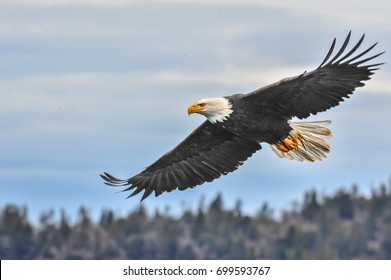 American bald eagle in flight over Alaska's Kenai mountains, with layered clouds overhead