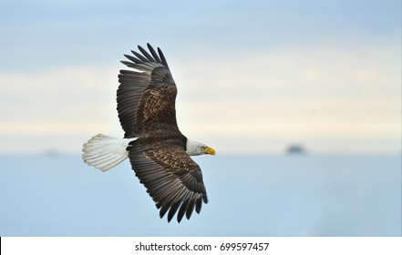 American bald eagle in flight over Cook Inlet in the Alaskan Kenai region, with cloudy bright sky overhead