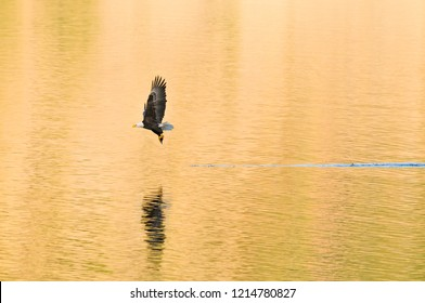 American Bald Eagle in flight, trying to catch fish