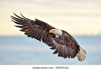 American bald eagle in flight and turning with wings spread, over Cook Inlet in Alaska's Kenai region