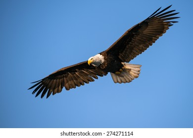 american bald eagle in flight with wing spread against blue alaska sky, taken from low angle
