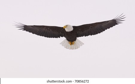 American Bald Eagle in flight with wings spread wide with blue sky background