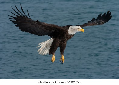 american bald eagle fly fishing over alaskan waters