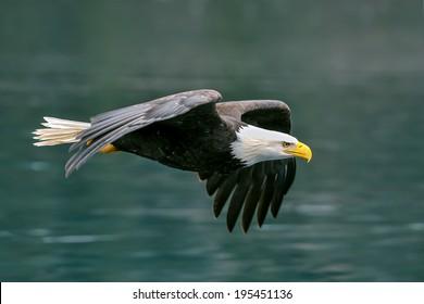 american bald eagle flying with determination over alaskan coastal bay