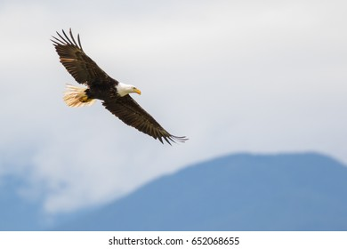 American Bald Eagle (Haliaeetus leucocephalus) in flight.
