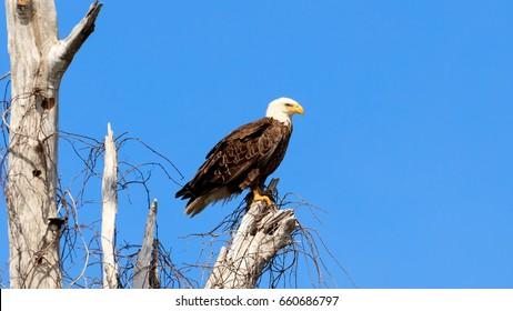 American bald eagle, haliaeetus leucocephalus, resting on an old tree, Florida, USA