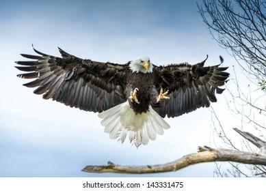 American Bald Eagle landing on a branch