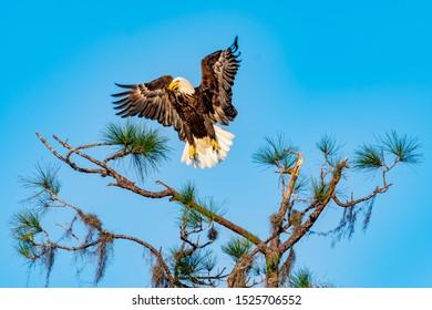 American bald eagle landing on a tree branch