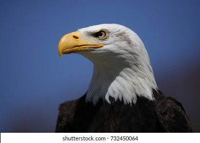 american bald eagle is looking very proud