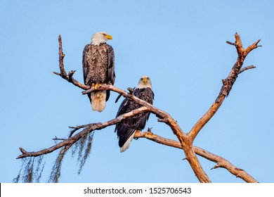 American bald eagle mates perched together on a tree branch