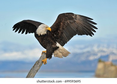 American bald eagle on branch against background of Cook Inlet and shoreline of Alaskan in Kenai region
