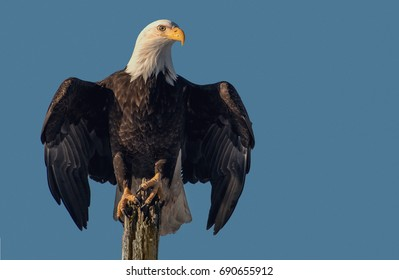 American bald eagle on tree snag and isolated against clear blue Alaskan sky of Kenai region