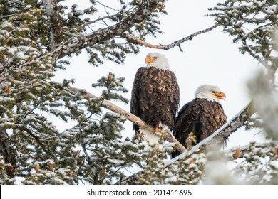 american bald eagle pair resting in fir tee in yellowstone national park
