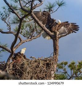 American Bald Eagle parents on nest