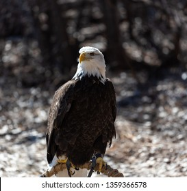 American bald eagle perched