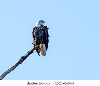 American bald eagle perched on a dead tree branch