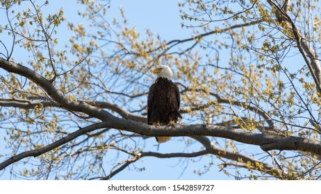 An American Bald Eagle perched on a tree branch.