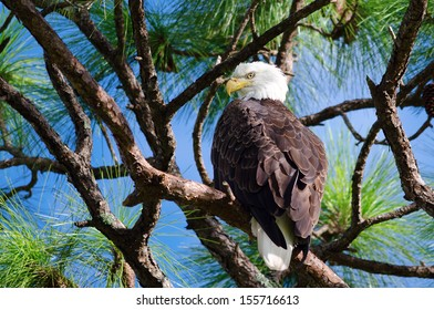 American Bald eagle perched on tree branch, Fort Myers, Florida.