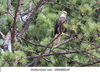 American Bald Eagle perched on a tree branch
