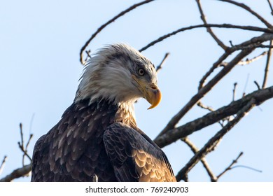 American Bald Eagle Perched on the  Tree