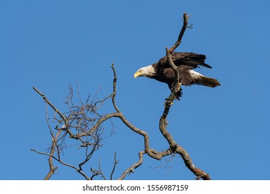 An American Bald Eagle perched in a tree against a blue sky.