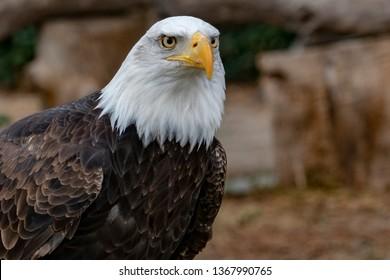 American bald eagle portrait whit open beak